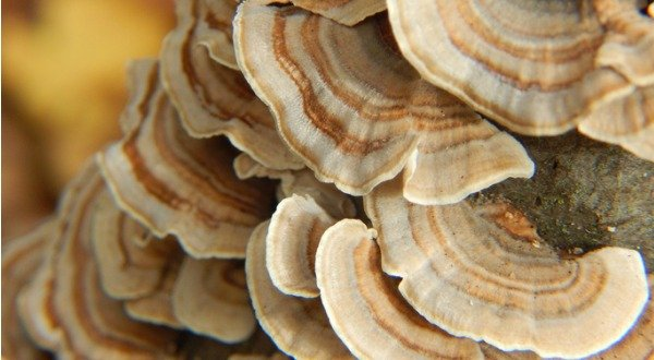 turkey tail polypore
