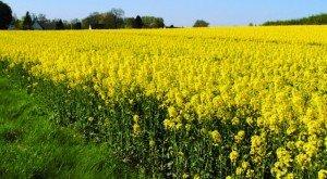 rapeseed field