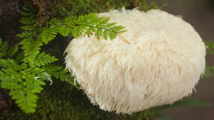 The Incredible Health Benefits of Lion's Mane Mushroom