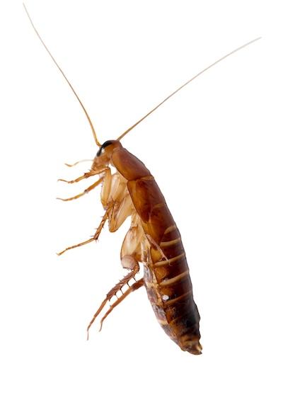 redhead cockroach