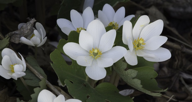 Bloodroot-Sanguinaria-canadensis-flowers