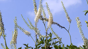 Black Cohosh: A Possible Cure for Breast Cancer