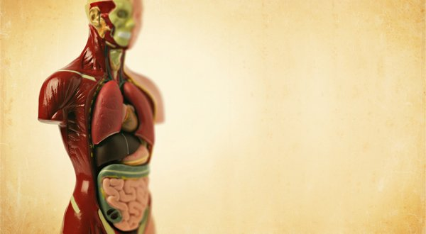anatomy model - cell regeneration